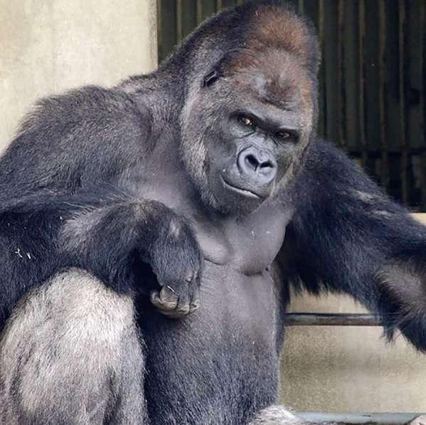 「猩界霸道总裁」忧郁眼神太迷人 超MAN外表吸引樱花妹…直接出写真集了