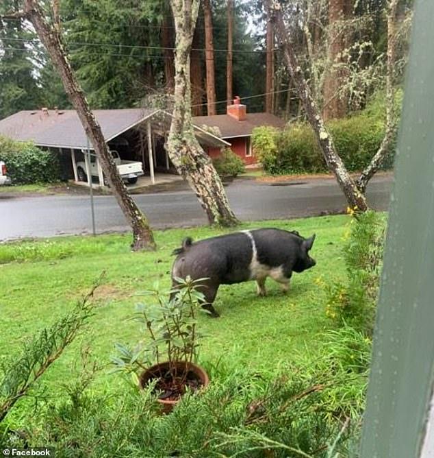 寵物豬走失淪為桌上佳餚,求主人心理陰影面積