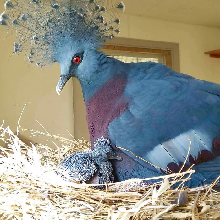 鸽子界选美皇后是牠 自备「皇冠+网袜」高冷外表却不会飞超反差